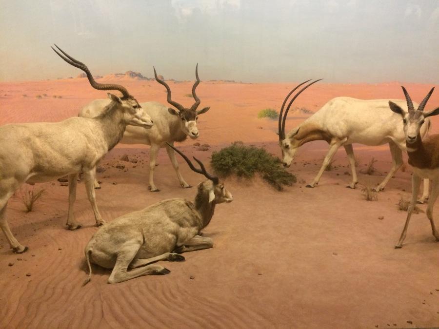 Antelope at AmMusNatHistory NYC Arran Henderson