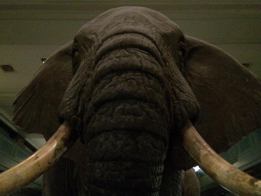 Elephant Big at AmMusNatHistory NYC Arran Henderson