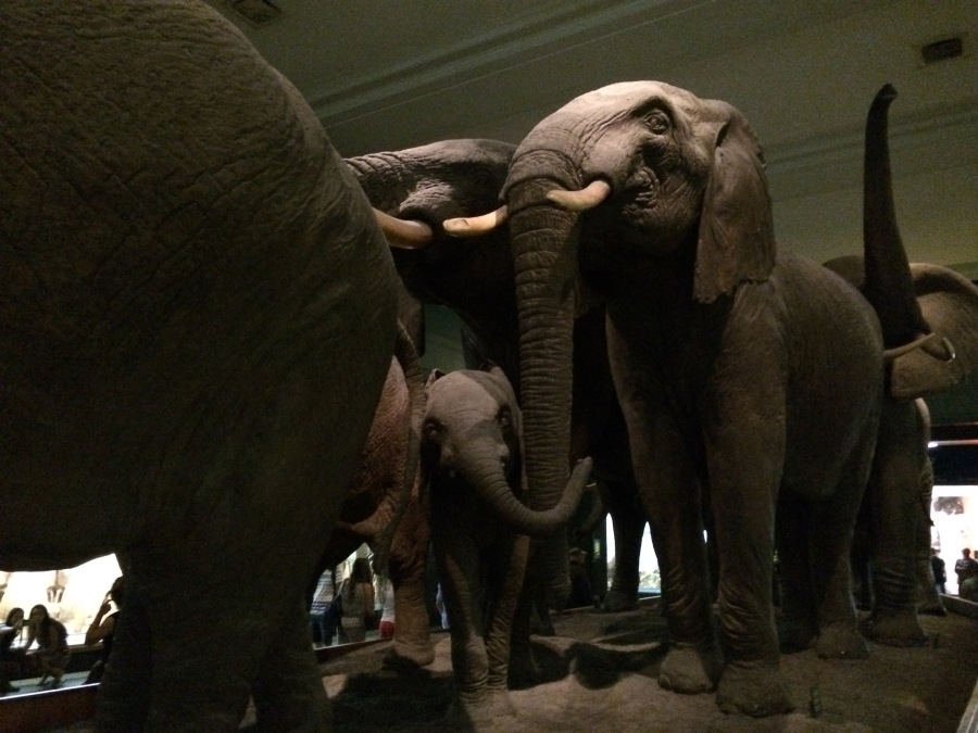 Elephant wide AmMusNatHistory NYC Arran Henderson