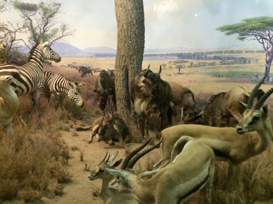 History of Dioramas ii arranqhenderson.com Americn Mus of Natural History