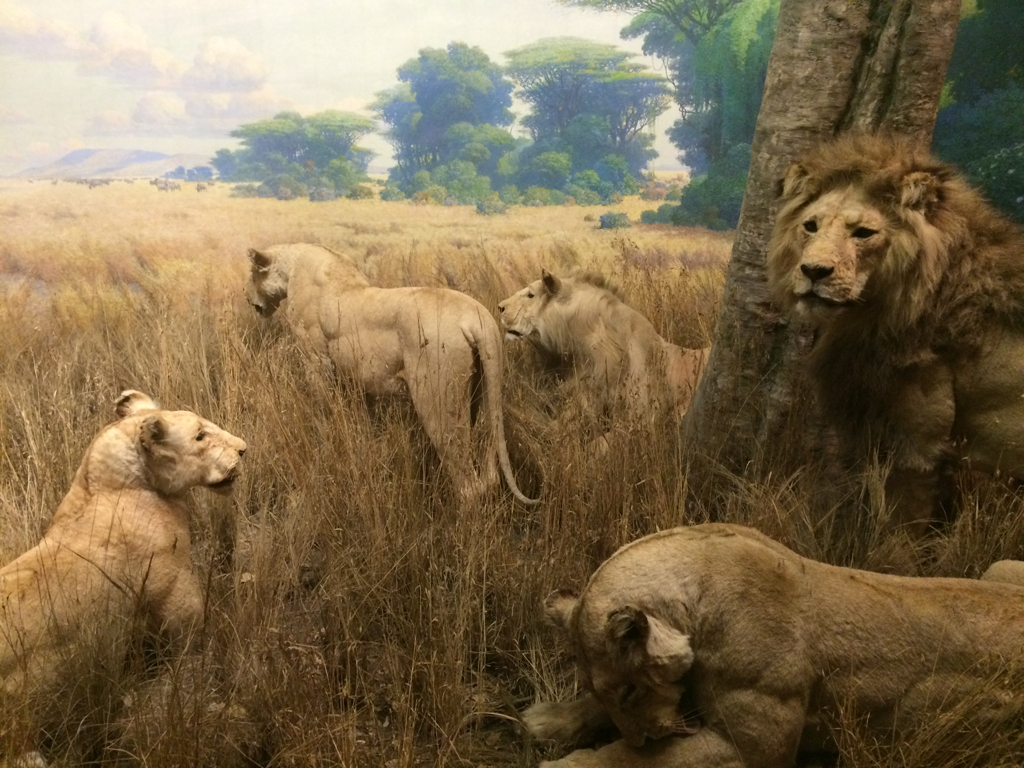 African spectacle, the dioramas of New York's American