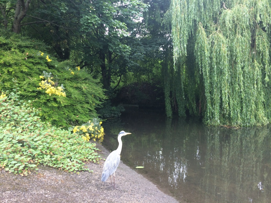 3- a Heron fishes in the Poddle, at Mount Argus photo Arran Henderson